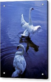 Graceful Swans Acrylic Print by Marie Hicks