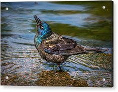 Grackle  Acrylic Print by Lisa Plymell