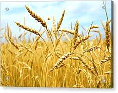 Grain Field Acrylic Print
