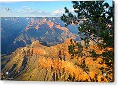 Grand Canyon South Rim - Pine At Right Acrylic Print