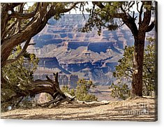 Grand Canyon Through The Trees Acrylic Print