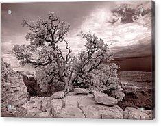 90285 Grand Cyn Pinon On Rock White Acrylic Print