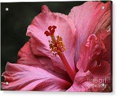 Grand Hibiscus Acrylic Print by Sabrina L Ryan