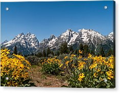 Grand Teton Arrow Leaf Balsamroot Acrylic Print