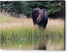 Grand Teton Moose Acrylic Print