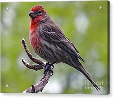 Grandeur - House Finch Acrylic Print by Cindy Treger