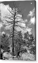 Grandfather Tree Acrylic Print by Pete Hellmann