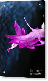 Granny's Christmas Cactus Acrylic Print by Marilyn Carlyle Greiner