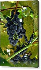Grape Arbor 2 Acrylic Print