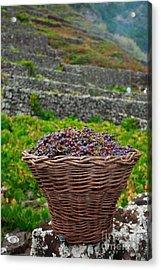 Grape Harvest Acrylic Print by Gaspar Avila