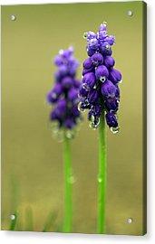 Grape Hyacinth Acrylic Print by Joseph Skompski