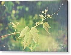 Grape Vine Against Summer Background Acrylic Print by Sandra Cunningham