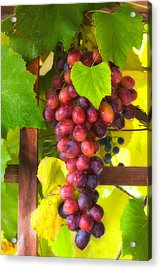 Grape Vine Acrylic Print by Utah Images