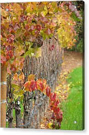 Grape Vines In Fall Acrylic Print by Jeff White