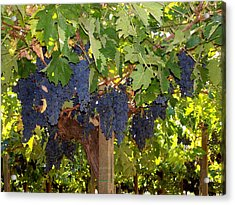 Grapes Are Ready Acrylic Print by Judy Kirouac
