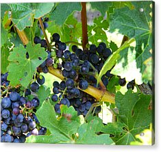 Vineyard Grapes Acrylic Print by Brian Manfra
