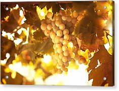 Grapes Filled With Sun Acrylic Print by Jenny Rainbow