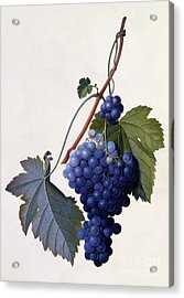 Grapes Acrylic Print by Georg Dionysius Ehret