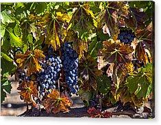 Grapes Of The Napa Valley Acrylic Print