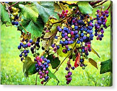 Grapes Of Wrath Acrylic Print by Karen Scovill