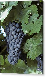 Grapes On The Vine Acrylic Print by Kenneth Garrett