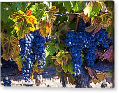 Grapes Ready For Harvest Acrylic Print