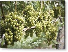 Grapes Acrylic Print by Zev Steinhardt