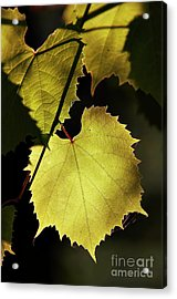 Grapevine In The Back Lighting Acrylic Print by Michal Boubin
