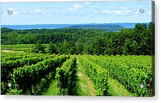 Grapevines On Old Mission Peninsula - Traverse City Michigan Acrylic Print by Michelle Calkins