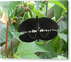 Graphic Sex In The  Butterfly House  Acrylic Print