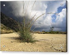 Grass Growing Out Of Crack In Tarmac Acrylic Print