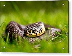Grass Snake - Natrix Natrix Acrylic Print