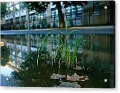 Grass Sprout Acrylic Print by Brynn Ditsche