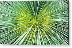 Grass Tree - Canberra - Australia Acrylic Print by Steven Ralser