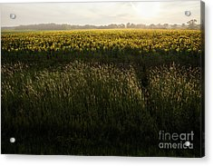 Grasses And Sunflowers 1 Acrylic Print by Ernesto Ruiz