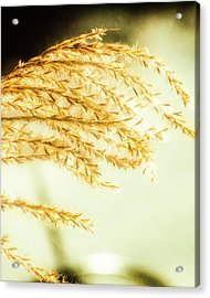 Grasses Of Gold Acrylic Print