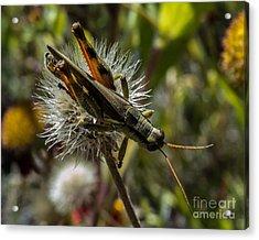 Grasshopper 1 Acrylic Print