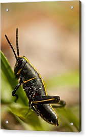 Grasshopper 2 Acrylic Print by Anthony Towers