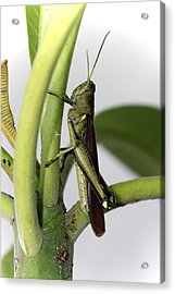 Grasshopper Acrylic Print by Evelyn Patrick