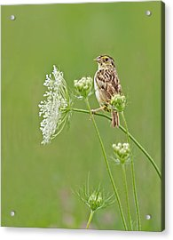 Grasshopper Sparrow Acrylic Print