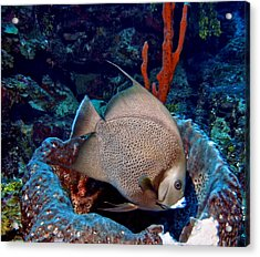 Gray Angel Fish And Sponge Acrylic Print
