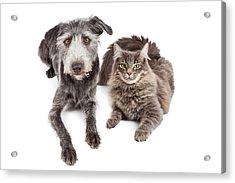 Gray Cat And Crossbreed Dog Acrylic Print