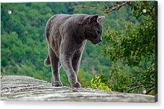 Gray Cat Stalking Acrylic Print