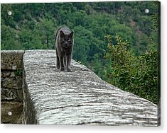 Gray Cat Prowling Acrylic Print