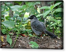 Gray Catbird Acrylic Print by Debra Straub