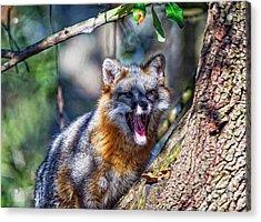Gray Fox Awakens In The Tree Acrylic Print