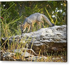 Gray Fox Hunting The Bluff Acrylic Print