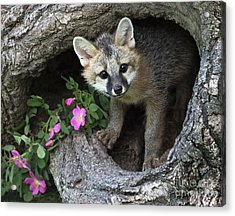 Gray Fox Kit Acrylic Print