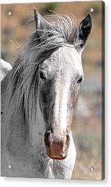 Gray Mare Acrylic Print by Lula Adams