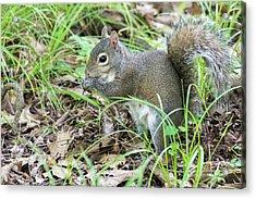 Gray Squirrel Eating Acrylic Print